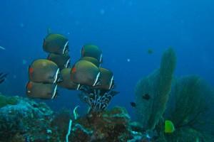 Similan Inseln Butterflyfish