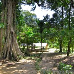 Koh Ra Banyan Tree