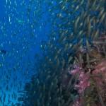 Weichkorallen Glasfische
