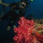 taucher weichkorallen